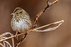 Lincoln's Sparrow (JohnReynolds2012) Tags: 2018 vancouver bc wildlife winter bird inaturalist pittmeadows canada animals birds coquitlam britishcolumbia ca
