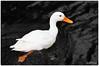 """Das """"schöne"""" Entlein (ahand grafX) Tags: animal ducks vögel birdy tier"""