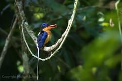 Buff-breasted Paradise Kingfisher (Tanysiptera sylvia) (Mickspixx) Tags: buffbreastedparadisekingfisher tanysipterasylvia rainforest kingfisher