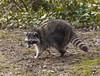2017-12-26_12-26-11 Blind Raccoon (canavart) Tags: raccoon cataracts blind