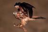 Luciendo plumaje (chuscordeiro) Tags: pluma plumaje color alas ave pajara averapaz milanoreal milvusmilvus redkite birdofprey naturaleza nature wildlife salvaje libre posadero españa spain canon1dxmarkii canon500f4 airelibre fondo