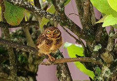Athene cunicularia (mazama973) Tags: bird birds oiseau frenchguiana guyane guyanefrançaise strigidae athenecunicularia chevêchedesterriers burrowingowl