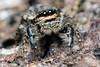 Marpissa muscosa Female (Jerome Picard) Tags: saltique salticide salticidé araignéesauteuse spider jumpingspider arthropod arachnid france fr