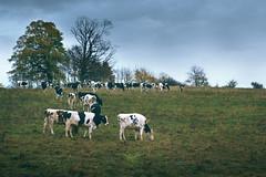 In a row. Black and white cows. (Gudzwi) Tags: blackandwhitecows kühe schwarzweisekühe cows wiese meadow landschaft landscape harz hügel hill inarow ineinerreihe