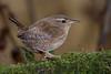 Wren-215 (davidgardiner8) Tags: birds eastsussex garden wren