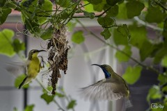 004a_IMG_0788a_olive-backed-sunbird (Writer,Thai Photographer) Tags: นก นกกินปลี นกกินปลีอกเหลือง สร้างรัง วงจรชีวิต bird lifecycle olivebackedsunbird