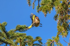goldfinch in flight (Paul Wrights Reserved) Tags: goldfinch bird birding birds birdphotography birdwatching birdinflight beautiful sky trees tree inflight flying action wings flapping
