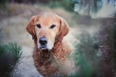 1/52 Albert (Jutta Bauer) Tags: bokeh portrait winter goldenretriever dog almightyalbert albert 52weeksfoealbert 52weeksfordogs