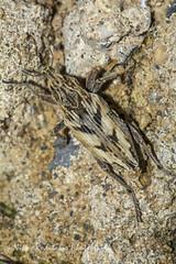 Coniocleonus  nigrosuturatus (Nikos Roditakis) Tags: coniocleonus nigrosuturatus cleoninae curculionidae ground beetle cretan fauna beetles greek european nikos roditakis nikon d5200 macro tamron af sp 90mm f28 usd di heraklion crete amnissos hill