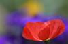 Cheerful Colours (AnyMotion) Tags: icelandpoppy islandmohn papavernudicaule pericallisbokeh plants pflanzen blossom blüte 2015 anymotion macro makro natur blumen floral flowers frankfurt colours colors farben red rot purple lila yellow gelb green grün 7d2 canoneos7dmarkii garden garten makroaufnahmen
