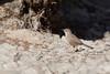 DSC_0136 (Kjell Arild Dokka) Tags: spurvefugler skriketroster tamariskskriketrost turdoides huttoni iran bandarabbas genu