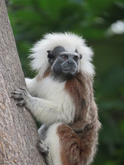 Cotton-top Tamarin (jdf_92) Tags: colombia cartagena monkey southamerica tamarin cottontoptamarin saguinusoedipus bichichi titípielroja titíblanco parquedelcentenario centennialpark
