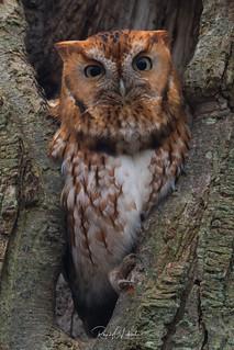 Eastern Screech Owls of NJ | 2017 - 7