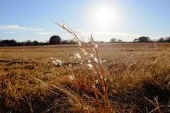 Wild Grass at Sunset (Gene Ellison) Tags: grass seeds field sun bluesky naturephotography