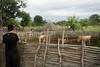 vigilando las vacas (agu²!) Tags: lugares paísbasari paysbassari vacas rebaño cows vaches herd cattle ganado troupeau bétail establo stable étable
