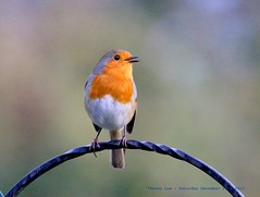 Sing it loud, Sing it proud... (law_keven) Tags: robin robinredbreast birds gardens garden gardenbird catford london england gardenbirds avian wildlife wildlifephotography photography