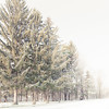 Dusty (Tim Drivas) Tags: snow pinetrees outdoors newyork saratoga trees winter