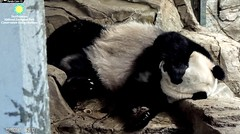 2017_12-19e (gkoo19681) Tags: meixiang beautifulmama sopretty proudmama fuzzywuzzy feetsies adorableears naptime covering toobright comfy perfection toocute contentment ccncby nationalzoo