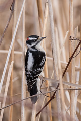 4414 (Eric Wengert Photography) Tags: downywoodpecker picoides picoidespubescens bird woodpecker
