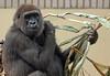western lowlandgorilla Nimba Burgerszoo BB2A5987 (j.a.kok) Tags: gorilla westelijkelaaglandgorilla westernlowlandgorilla lowlandgorilla laaglandgorilla aap animal ape burgerszoo mammal monkey mensaap zoogdier dier africa afrika nimba