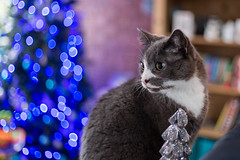 Christmas Cat (jonathan.scaife81) Tags: charlie christmas tree bokeh home blairgowrie perthshire scotland canon 6d 50mm lights blue meow 25th december