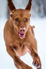 Cold Play (Neil_Wagner) Tags: vizsla ripley hungarian snow play cold