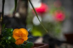 Happy Bokeh Wednesday (Jims_photos) Tags: texas yellowflower unitedstates outdoor outside adobelightroom adobephotoshop shadows daytime jimallen jimsphotos jimsphotoswimberleytexas lightroom landscape nopeople nikond750