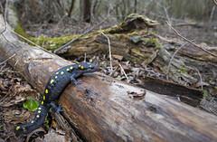 Spotted Salamander in Habitat ~ Ambystoma maculatum (cre8foru2009) Tags: spotted salamander ambystoma maculatum amphibian nature wildlife georgia nikon wide angle 20mm