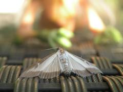 Silvered Zoom (SethDanbo) Tags: okaeri tadaima bjd doll rat animal moth papillon butterfly summer été sun soleil whitehair pink green vert orange relax tac tarte au citron