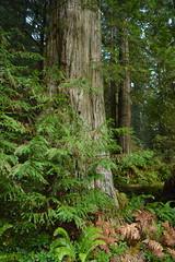 Prairie Creek Redwoods State Park (David A's Photos) Tags: prairiecreekredwoodsstatepark prairiecreek humboldtcounty california december 2017 nature trees redwoods forest