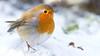 Robin - Roodborstje (Wim Boon (wimzilver)) Tags: wimboon roodborstje robin bird canon7d canonef300mm f4l is usm sneeuw