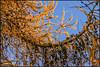 P1220448-1 - Curtain of Cones (dangle earrings) Tags: birstwith larch golden cones curtain dangleearings panasonicdmcgx8