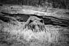 Ursus arctos (Traylor Photography) Tags: ursine sleeping spring wildlifeconservationcenter brownbear portage alert park anchorage alaska unitedstates us