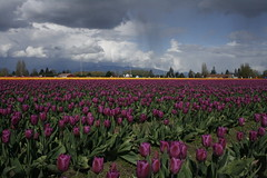 april9ththru16th 066 (condor avenue) Tags: april9ththru16th skagit skagitcounty tulipfestival daffodilfields tulipfields washington tulips springflowers spring