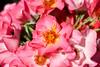 Maig_0042 (Joanbrebo) Tags: barcelona catalunya españa es 17èconcursinternacionalderosesnovesdebarcelona park parque parc parccervantes garden jardí jardín rosa rose flors flores flowers fleur fiori blumen blossom canoneos80d eosd efs18135mmf3556is autofocus