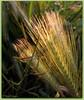 Poésie des épis (bleumarie) Tags: cerbère pyrénéesorientales suddelafrance roussillon catalogne mariebousquet nature bleumarie paysage cappeyrefite littoral littoralméditerranéen herbe brindherbe végétation végétal flore floral fleur fleursauvage printemps bokeh verdure feuille feuillage macro jaune vert printemps2017 languedocroussillon mars2017