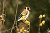 Chardonneret élégant (Nicolas4065) Tags: oiseaux bird chardonneret wild animal passereaux passéridés ornithologie landes aquitaine