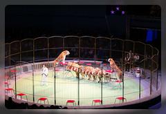 Изображение 113 (Dalekaja) Tags: circus lions new year marry cristmas