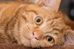 Big Eyes (Evoljo) Tags: dougal cat pussy ginger pet eyes fur stare watching nikon d500