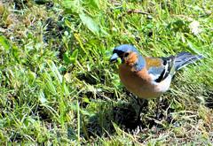 Pinson des arbres 3 (jean-daniel david) Tags: oiseau pinson nature vert verdure chenille pelouse