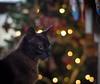 Amy en Navidad (Monica Fiuza) Tags: juegolvm pet mascota gata gato cat bokeh christmastree christmas navidad