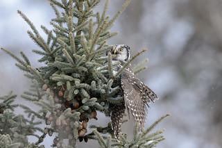 Northern Hawk Owl-45759.jpg