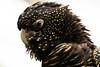 Red-tailed Black Cockatoo (aT0Mx) Tags: cockatoo bird parrot black yellow speckled spots beak redtailed toronto torontozoo zoo zooanimals metrotorontozoo
