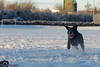 Leroy in the Snow 6 (Mike House Photography) Tags: snow white weather precipitation day outdoor light blue dog pet fun labrador poodle labradoodle black playing playful running chasing pointing point fetch bound bounding leaping jumping pouncing