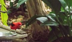 DSC_0250 (nicotr) Tags: 20171209 oiseaux tangara zoo