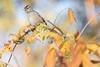 White-crowned Sparrow (Eastbaygirl925) Tags: california bayarea bayareanature sparrow birds birdphotography whitecrownedsparrow wisteria branches goldenhour