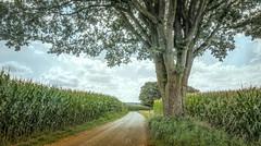 August (Jorden Esser) Tags: cornfields countryroad landscape summer tree trees oak