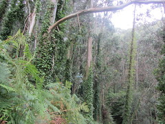 Biodiversity, Cape Ortegal, Galicia (d.kevan) Tags: woods ivy bracken trees plants undergrowth eucalyptuses spain galicia capeortegal slopes climbingplants