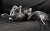 Motion Kittens 25 (peter_hasselbom) Tags: cat cats kitten kittens abyssinian 10weeksold 3cats 3kittens play fight hunt game playfight playing blackandwhite bw motionblur 50mm littledoglaughednoiret
