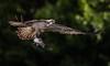 Osprey - Pandion haliaetus (Paul M Loader) Tags: osprey pandion haliaetus rutlandwater hornmilltroutfarm rivergwash diving flying birdofpreybop fishingfish canon5dmkivmk4 ef70200f28isiiusm photographyhide